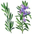 Fresh rosemary herb and spice branch, plant with flowers isolated, hand drawn watercolor illustration on white