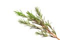 Fresh rosemary isolated on white background Royalty Free Stock Photo