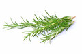 Fresh rosemary sprigs of aromatic herb on white background with room for tetxt Royalty Free Stock Photo
