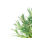 Fresh rosemary twigs border isolated banner Royalty Free Stock Image