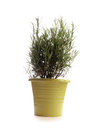 Fresh rosemary on white a background Royalty Free Stock Photos