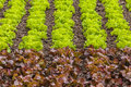 Fresh rows of green and red lettuce on a farm field vegetables Royalty Free Stock Photo