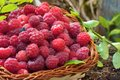 Fresh rubus idaeus in basket with vegetation Stock Images