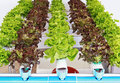Fresh salad vegetable green and red is growing in greenhouse Royalty Free Stock Photo