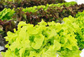 Fresh salad vegetable green and red is growing in greenhouse Royalty Free Stock Images