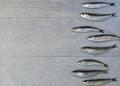 Fresh sardine Royalty Free Stock Photo