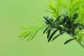 Fresh shoots of the yew tree on green background macro Royalty Free Stock Photography