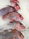 Fresh Snapper Stock Photos