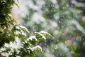 Fresh snow falling on cedar pine tree Stock Photo
