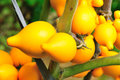 Fresh solanum mammosum fruit plant Stock Image