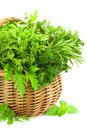 Fresh spicy herbs in basket isolated on white collection of thyme basil oregano parsley marjoram rucola sage and rosemary Stock Photography
