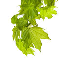 Fresh sprig of maple Royalty Free Stock Photo