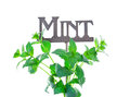 Fresh sprigs of mint around a metal garden marker shot on white background Royalty Free Stock Image