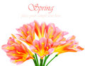 Fresh spring crocus flower Royalty Free Stock Photo
