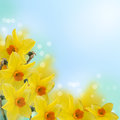 Fresh spring flowers of daffodils floral background abstract background with place for text Stock Image
