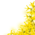 Fresh spring flowers of forsythia on garden background Royalty Free Stock Photo