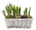 Fresh spring flowers in white basket isolated hyacinths seedlings wicker on background Royalty Free Stock Image