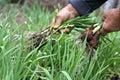 Fresh spring garlic Royalty Free Stock Photo