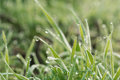Fresh spring grass covered with morning dew Royalty Free Stock Photo