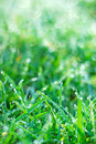 Fresh spring grass with dew drops green background Royalty Free Stock Photos