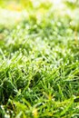 Fresh spring green grass close up image of Royalty Free Stock Images