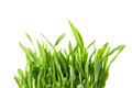 Fresh spring green grass isolated on white background Royalty Free Stock Images