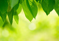 Fresh spring green leaves over bright background blurred Royalty Free Stock Photo