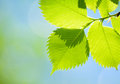 Fresh spring green leaves over bright background blurred Royalty Free Stock Images