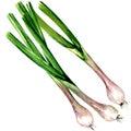Fresh Spring Green Onion Isola...