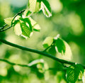 Fresh spring leaves in a forest Royalty Free Stock Photo