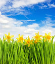 Fresh spring narcissus flowers in green grass Stock Image