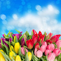 Fresh spring tulip flowers with water drops bouquet of multicolor tulips over blue blurred background floral backdrop Royalty Free Stock Photos