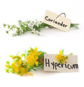 Fresh st john s wort and coriander plants isolated on the white background Stock Photography