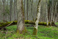 Fresh stand of bialowieza forest in spring deciduous with old alder tree foreground and broken one background Royalty Free Stock Photos
