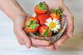 Fresh strawberries and chamomile in hand Royalty Free Stock Photography