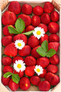 Fresh strawberries with daisy flowers Stock Images