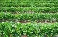 Fresh strawberries farm background Royalty Free Stock Photo