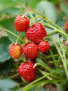 Fresh strawberries grow in the garden Stock Images