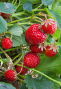 Fresh strawberries grow in the garden Stock Photography