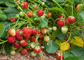 Fresh strawberries grow in the garden Royalty Free Stock Images