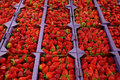 Fresh strawberries at a market large display of are displayed in flats Royalty Free Stock Photography