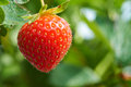 Fresh strawberries ripe growing at a fruit farm Stock Photos