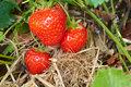 Fresh strawberries ripe growing at a fruit farm Stock Image