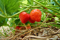 Fresh strawberries ripe growing at a fruit farm Stock Photo