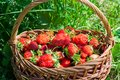 Fresh strawberries in a wicker basket. harvest Royalty Free Stock Photo