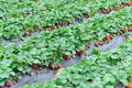 Fresh strawberry fruits grow field Stock Photography