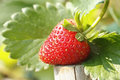 Fresh Strawberry  In Nature