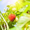 Fresh strawberry plant strawberries closeup with bright sunlight Stock Photos