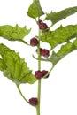 Fresh Strawberry Spinach Royalty Free Stock Photo
