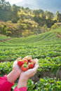 Fresh strawberry in strawberry s field Royalty Free Stock Photo